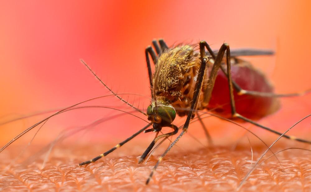 El mosquito transmite fiebre amarilla