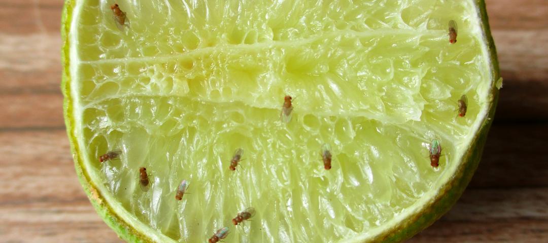 drosophila melanogaster mosquitos de la fruta