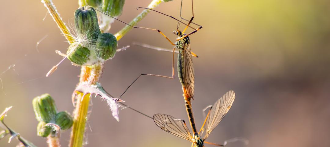 mosquitos gigantes tipulas